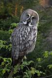 Great gray owl Strix nebulosa  bradata sova_MG_9617-1.jpg