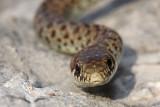 Balkan whip snake Hierophis gemonensis belica_MG_1861-1.jpg