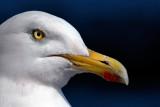 George Sea-gull! Sidmouth