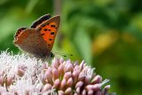 Small Copper (4140)
