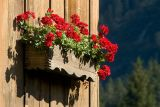 Box of red geraniums, Les Diablerets