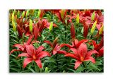 Red lilies, Eden Project, Cornwall