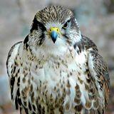 Peregrine falcon, Bossington