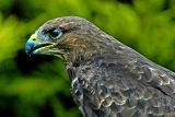 Buzzard, Bossington