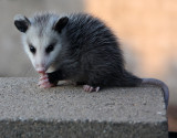 Motherless Possum