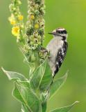 Downy Wodpecker on Common Mullen
