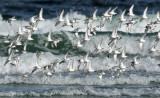 _NW83437 Shorebirds in Floght Against Surf.jpg