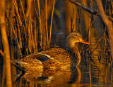 _JFF8206 Mallard Secluded.jpg