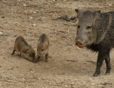 Javalina with young