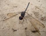Black Setwing (Dythemis nigrescens)