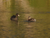 American Coot with Least Grebe