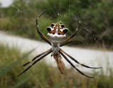 Silver Garden-Spider (Argiope argentata)