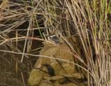 Green Kingfisher