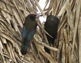 Bronzed Cowbirds