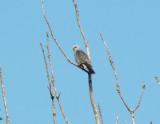Mississippi Kites 2008