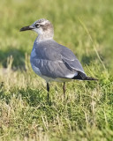 Laughing Gull, 2nd cycle