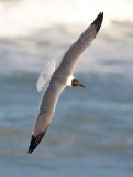 Laughing Gull, alternate adult