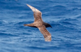 Trindade Petrel (#3 of 3)