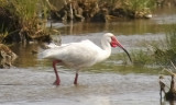 White Ibis, alternate (#2 of 2)