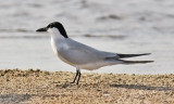 Gull-billed Tern, alternate (#1 of 3)