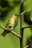 Yellow Warbler - juvenile