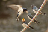 Swallows, Martins & Swifts