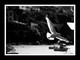 White flying .