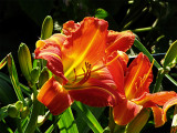Day Lily No. 3