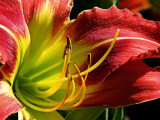 Day Lily No. 7