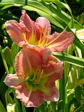 Day Lily No. 6
