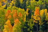 Colorado Aspen Grove-2