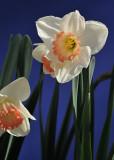Apricot Trumpet Daffodils