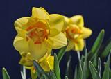 Tahiti Daffodils