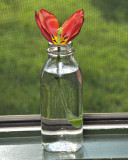 Bottled Tulip