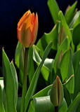 Orange Tulip and New Buds