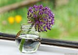 Allium in the Window