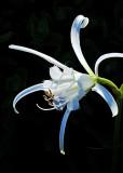 Peruvian Daffodil White Ribbons