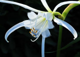 Peruvian Daffodil Curving Petals