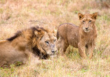 Cats Of Lion Sands