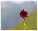 Nigritella austriaca
