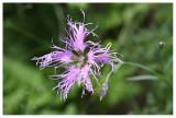 Dianthus superbus alpestris