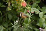 Eastern Spinebill Honeyeater