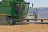 Wheat Harvest Along Highway 2