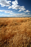 Golden Fields For The  Bellies Of The World