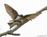 TreeSwallow18c2776.jpg