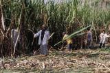 Harvesting cane