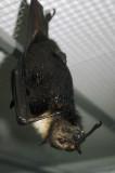 Fruit bat, Kula Eco Park
