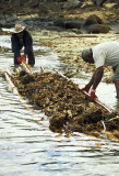 Harvesting coral for export