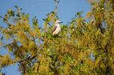 scissortailed flycatcher on live oak