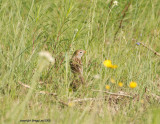 field sparrow may 11
